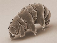 Biofluorescenza, un altro superpotere dei tardigradi contro gli ultravioletti
