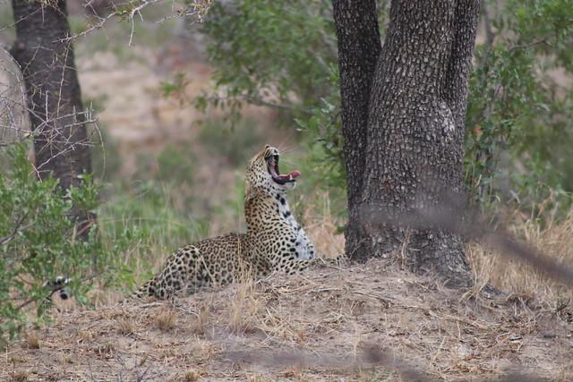 A Mighty Leopard Yawn