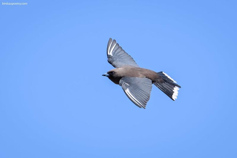 Dusky Woodswallow: Gliding