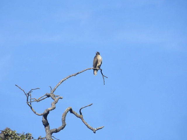 hawk in the santa monica mountains