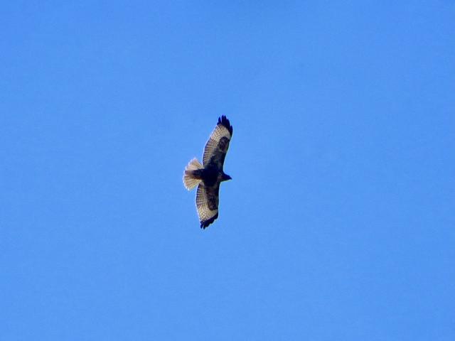 hawk at paramount ranch