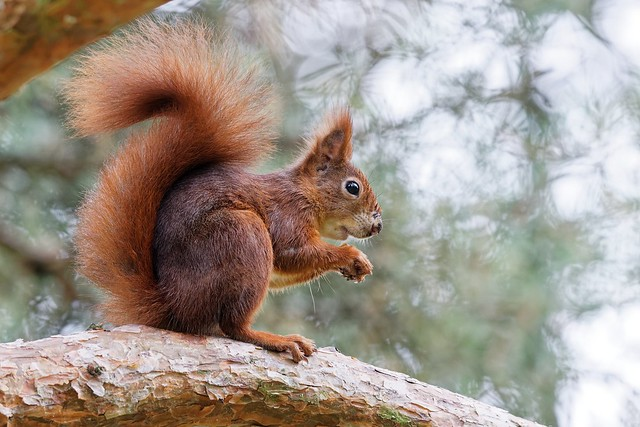Eichhörnchen / Squirrel   [explored 10.12.2020]