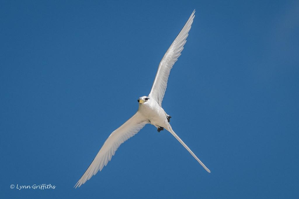 White-tailed Tropicbird 501_8526.jpg