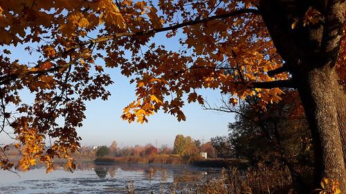 autumn aspen yellow landscape lithuania lietuva vilnius
