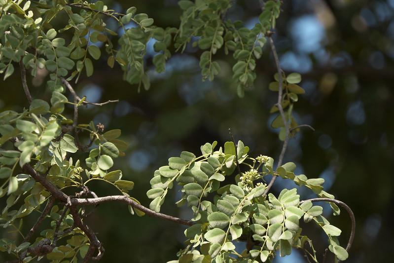 Dalbergia malabarica Prain