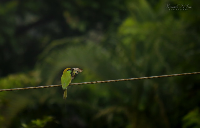 Butterfly for lunch😋😉  Green bee-eater (Merops orientalis)