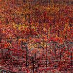 Fall colour vines