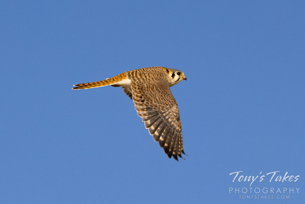 A female American kestrel makes a fast getaway. (© Tony's Takes)