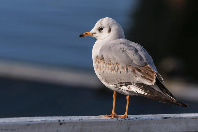Guincho-comum | Black-headed Gull (Larus ridibundus)