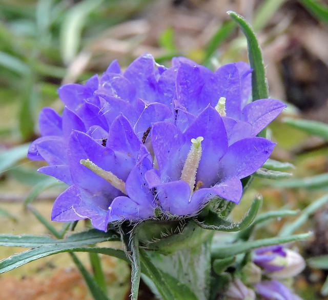 2020-06-15 Edraianthus tenuifolius - BG Teplice
