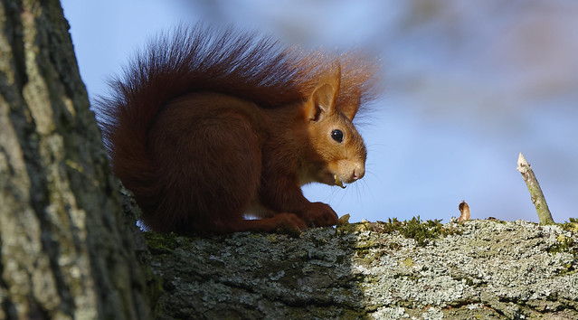 a Red Squirrel (1/2)