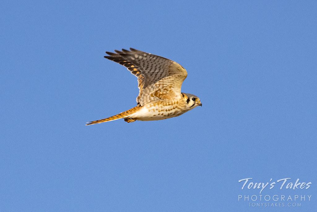 Fast female falcon flyby
