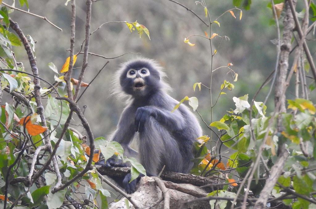 科學家透過博物館沈寂百年標本 發現緬甸瀕危新種「波巴葉猴」