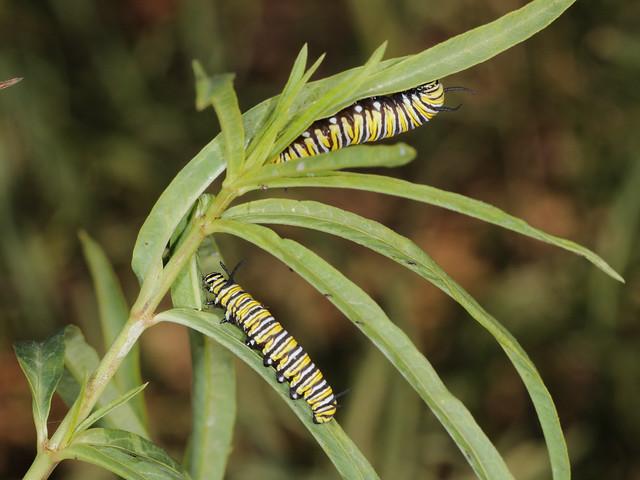 Monarch caterpillar pair