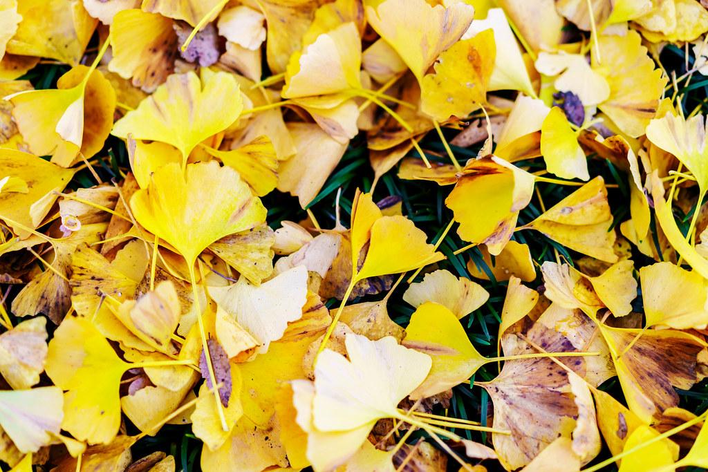 Ginkgo Fallen Leaves : 銀杏の落ち葉