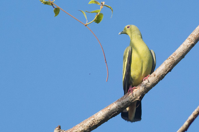 Pink-necked Green-Pigeon - female