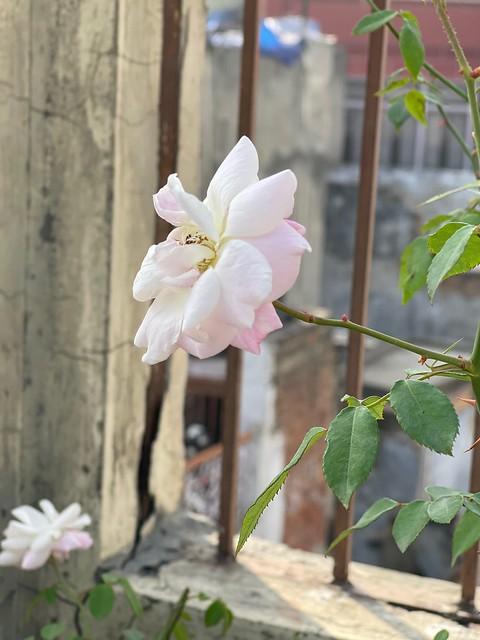 Home Sweet Home - Shahnawaz Khan's Rose Garden, Pahari Imli