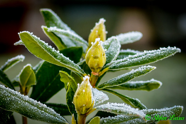 Frosted Rhododendron Buds