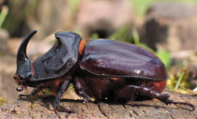 Nashornkäfer, Männchen
