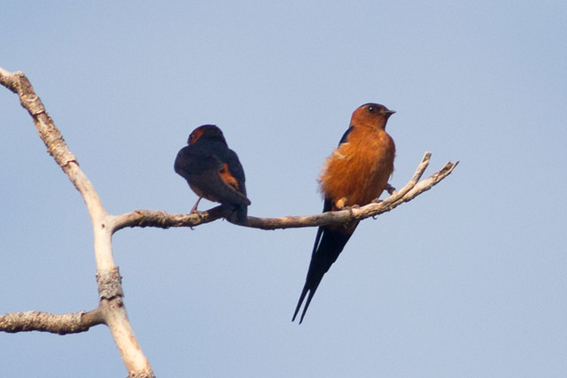 Rufous-bellied Swallow