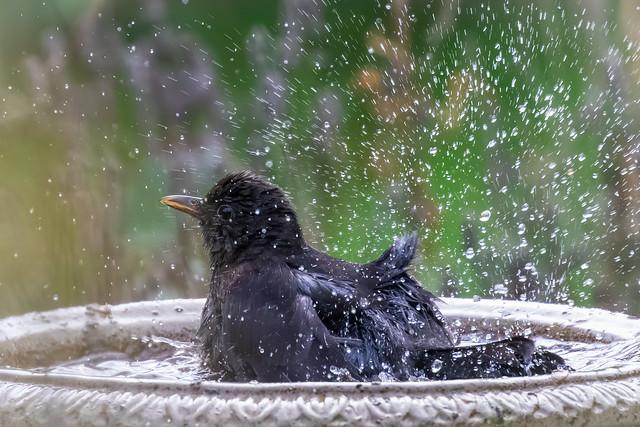 Blackbird bath time