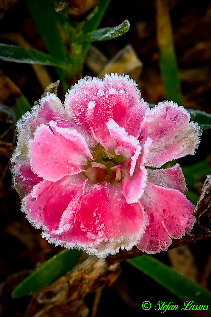 Frosted Carnation