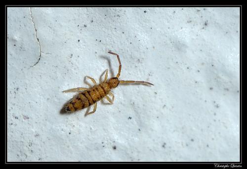 Entomobrya multifasciata