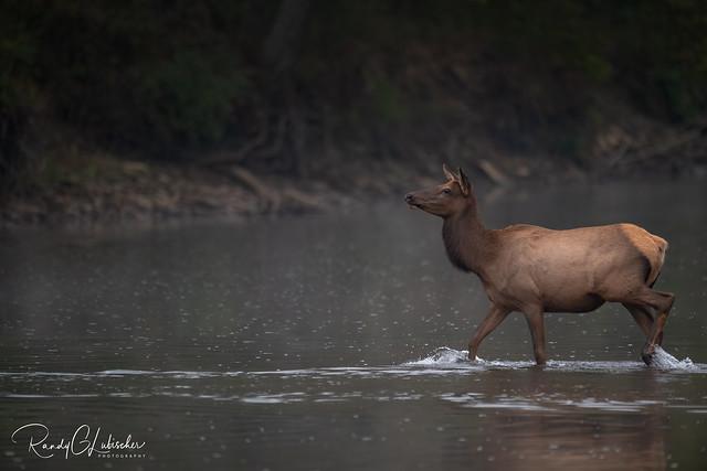 Elk of Benezette | 2020 - 40