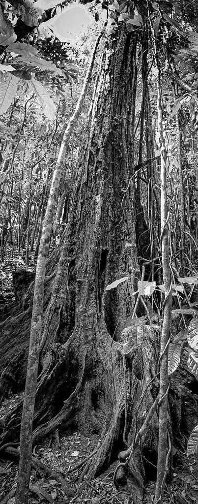 Dans la forêt vierge... 50706304136_10236c2715_b