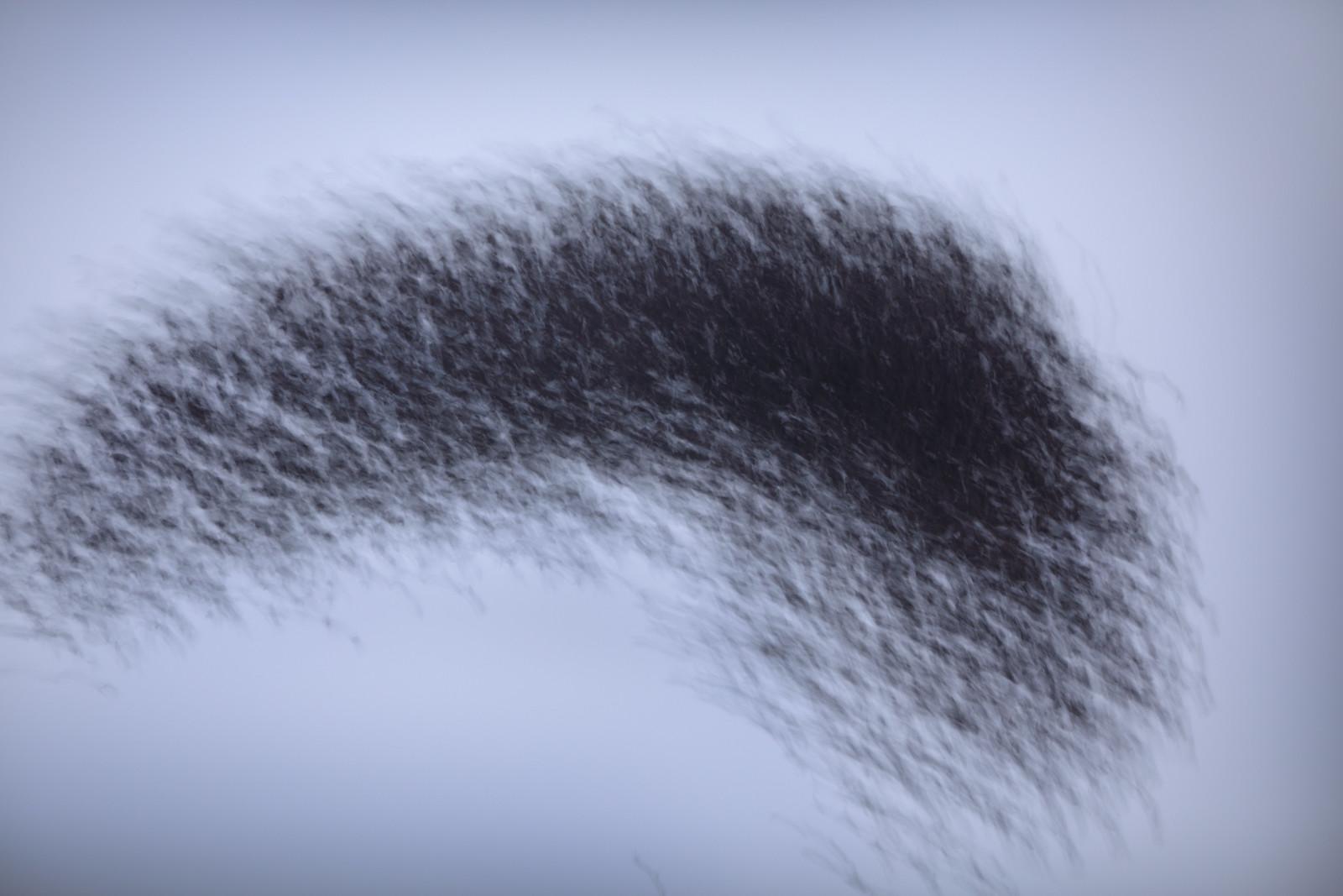 Starling Murmuration - Motion Blur