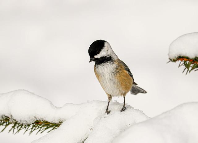snow-bcc
