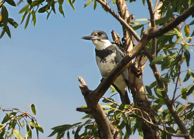 Belted Kingfisher - The Nemesis 8226