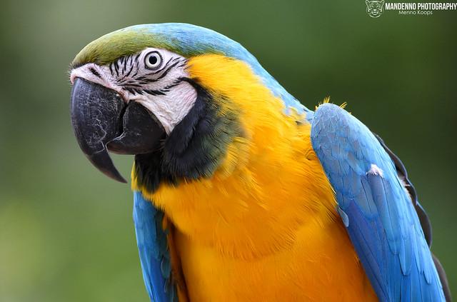 Blue-yellow macaw - Zoo Veldhoven
