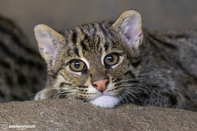 Young Fishing Cat - Blijdorp/Rotterdam Zoo
