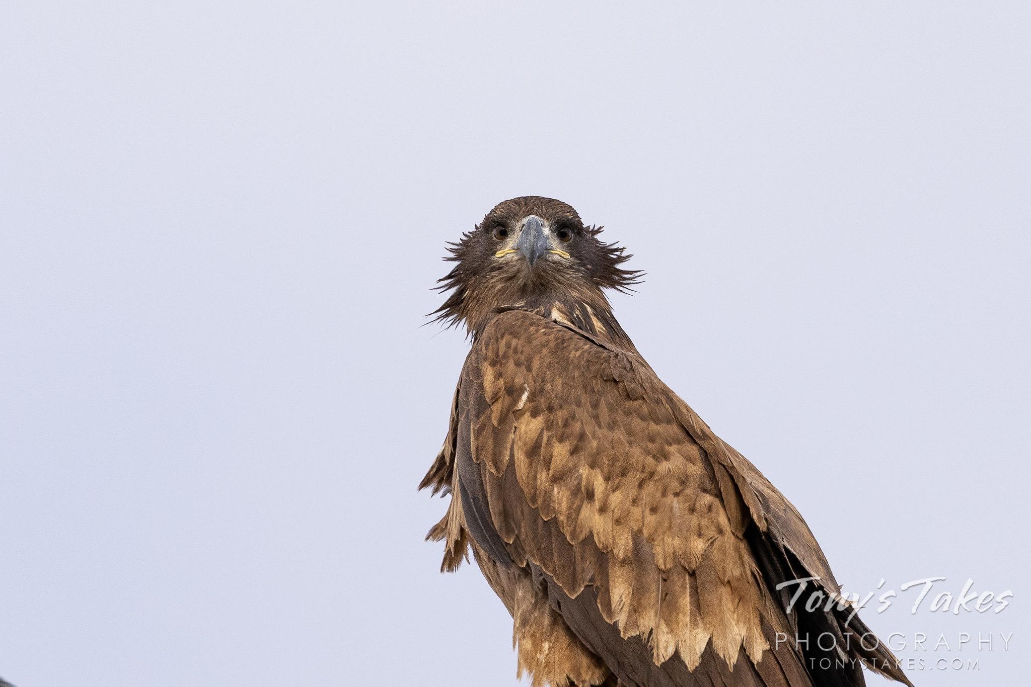 Bad hair day bald eagles