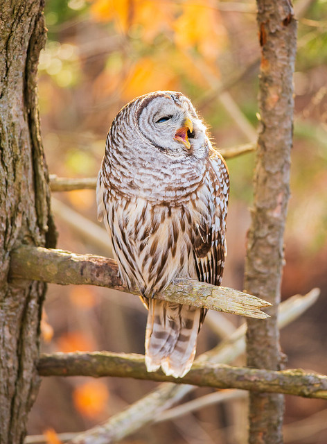 Barred Owl Expression