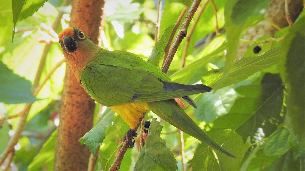 Periquito-rei - Peach-fronted Parakeet