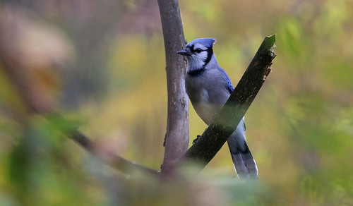 bird birds aves wildbird wildbirds bluejay canon outside outdoors nature natural hike trail rbg rbgblooms burlington hamilton hendrie grindstonecreek sanctuary corvidae ontario canada