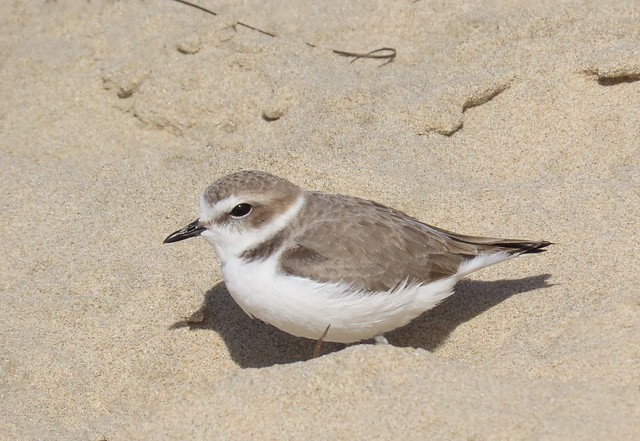 Snowy Plover Crystal Cove State Park
