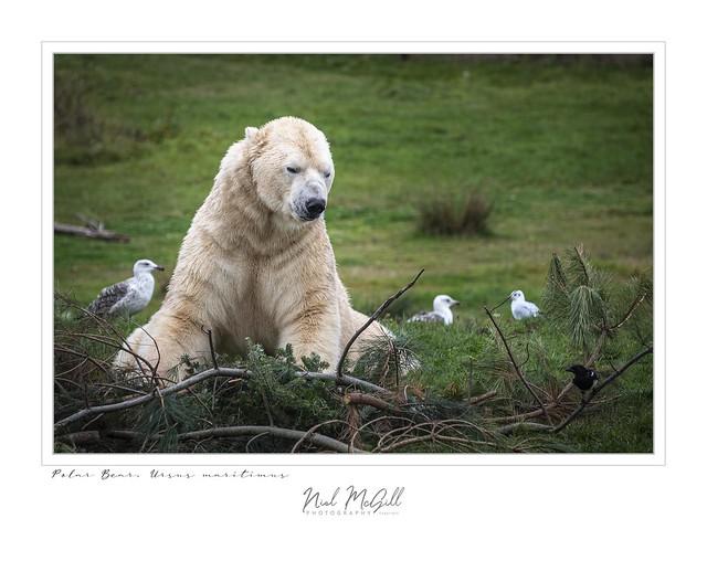 Polar Bear-5084