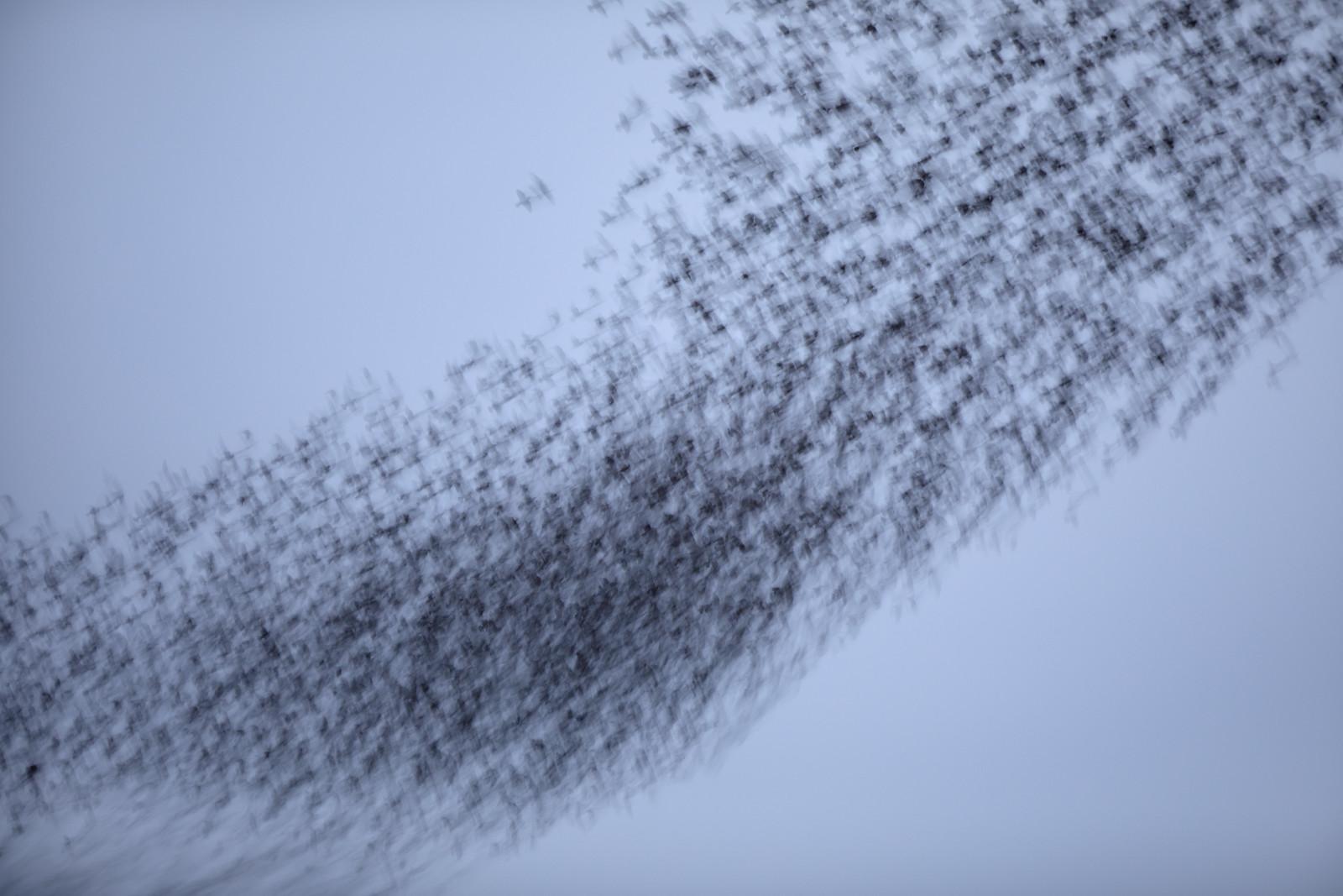Starling Murmuration - Motion Blur - Minimal