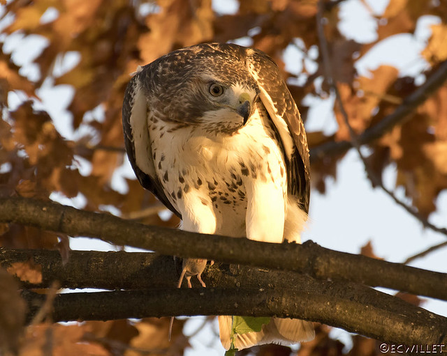 red-tail w/mouse