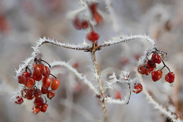Rote Beeren im weißen Kleid