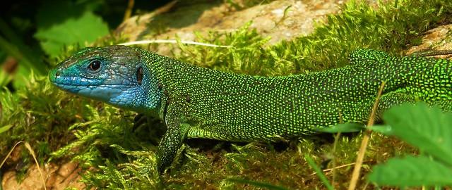 Western Green Lizard   Lacerta Bilineata   Adult Male Standing On Mossy Rock   Ticino   Switzerland