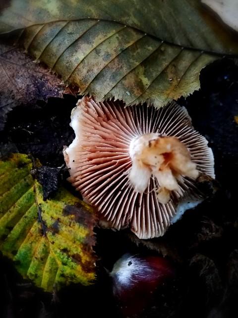 Il fungo e la castagna