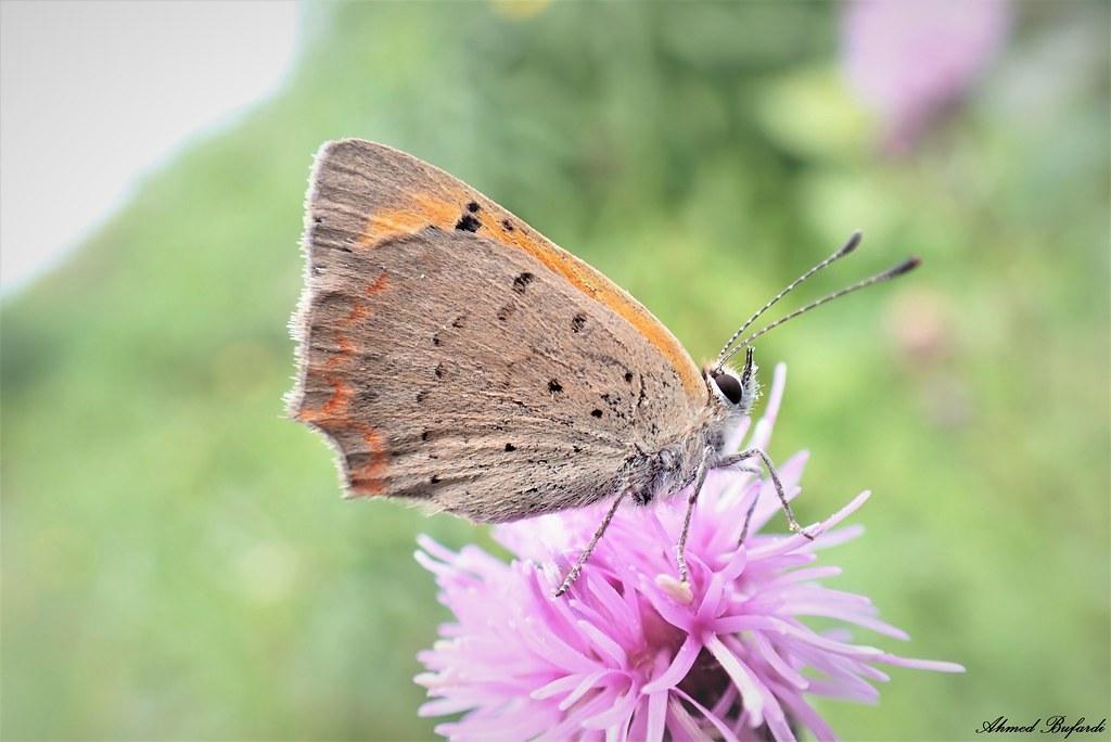 Butterfly 2023 (Lycaena phlaeas)