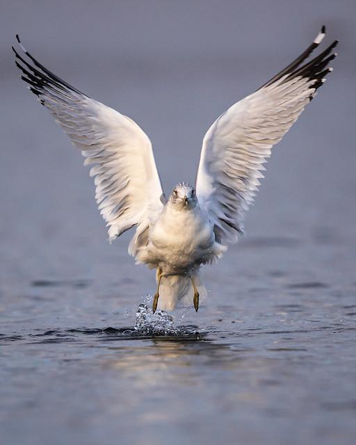 Ring-billed Gull--- Larus delawarensis