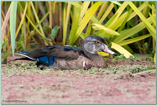 duck woodduck ducks waterbirds waterbird