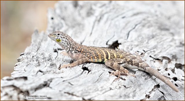 _03A0323 Greater Earless Lizard ©Dancing Snake Nature Photography