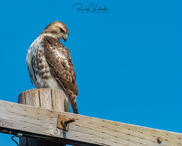 Red-tailed Hawk - Buteo jamaicensis | 2020 - 7